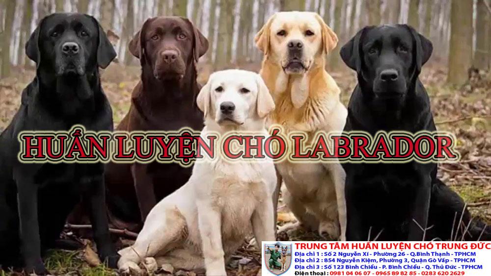 huấn luyện chó Labrador, huan luyen cho Labrador