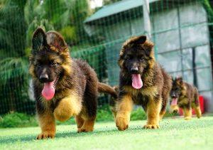Mua bán chó Becgie Đức thuần chủng tại Tp.HCM, Đồng Nai, Bình Dương