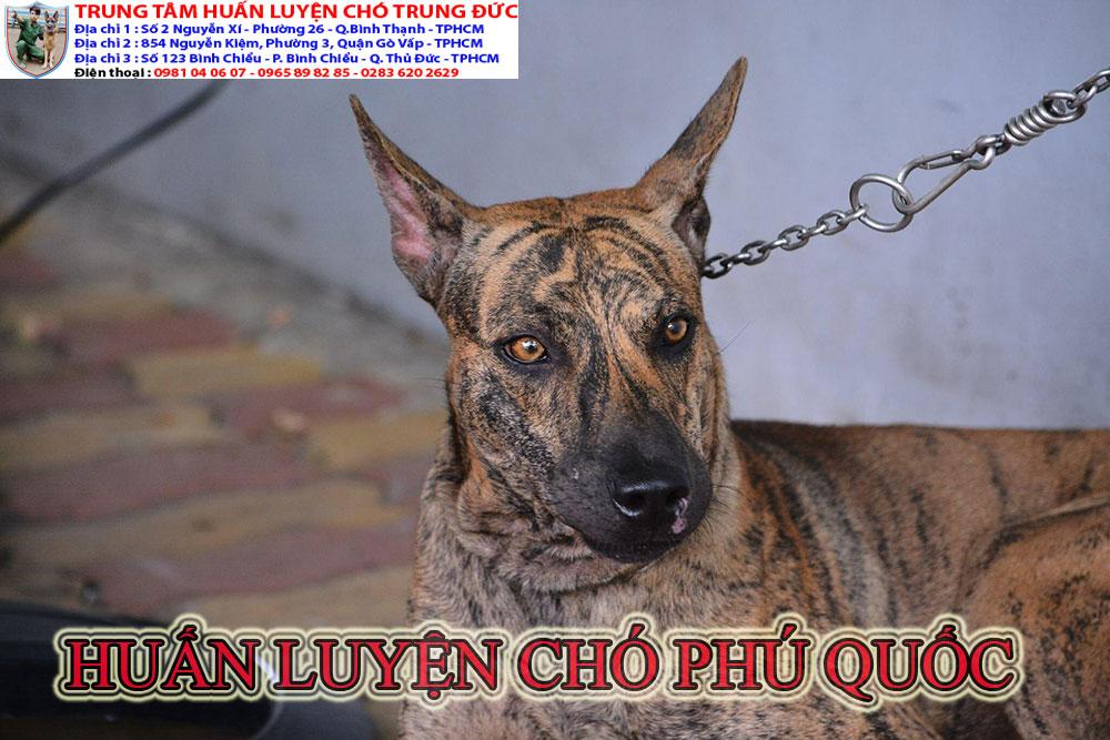 huấn luyện chó Phú Quốc, huan luyen cho Phu Quoc