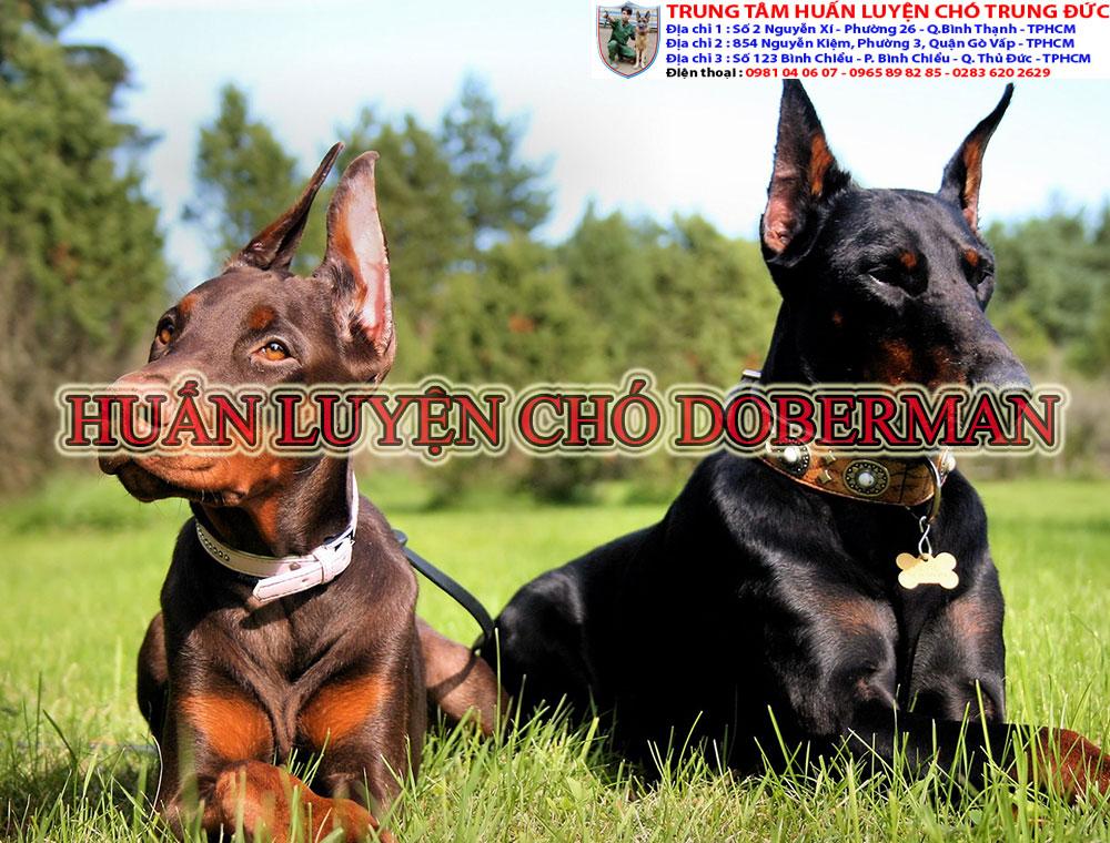huấn luyện chó doberman, huan luyen cho doberman