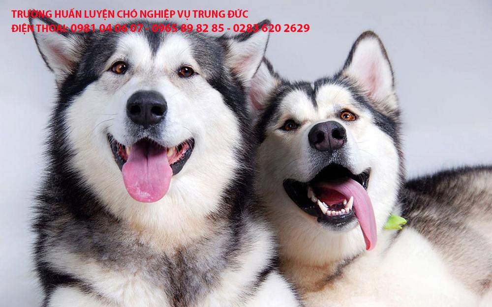 Huấn luyện chó Alaska, huan luyen cho Alaska