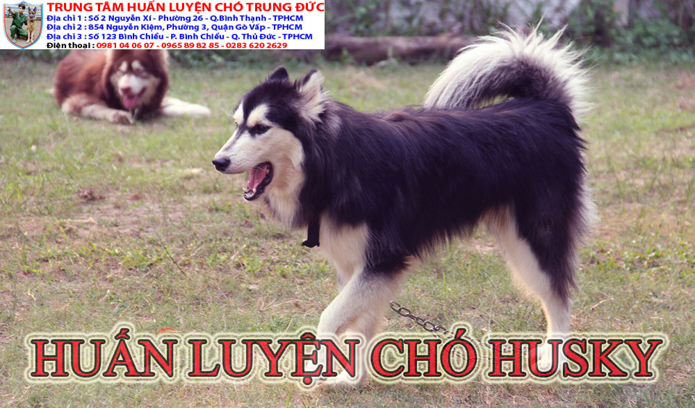 huấn luyện chó Husky, huan luyen cho Husky