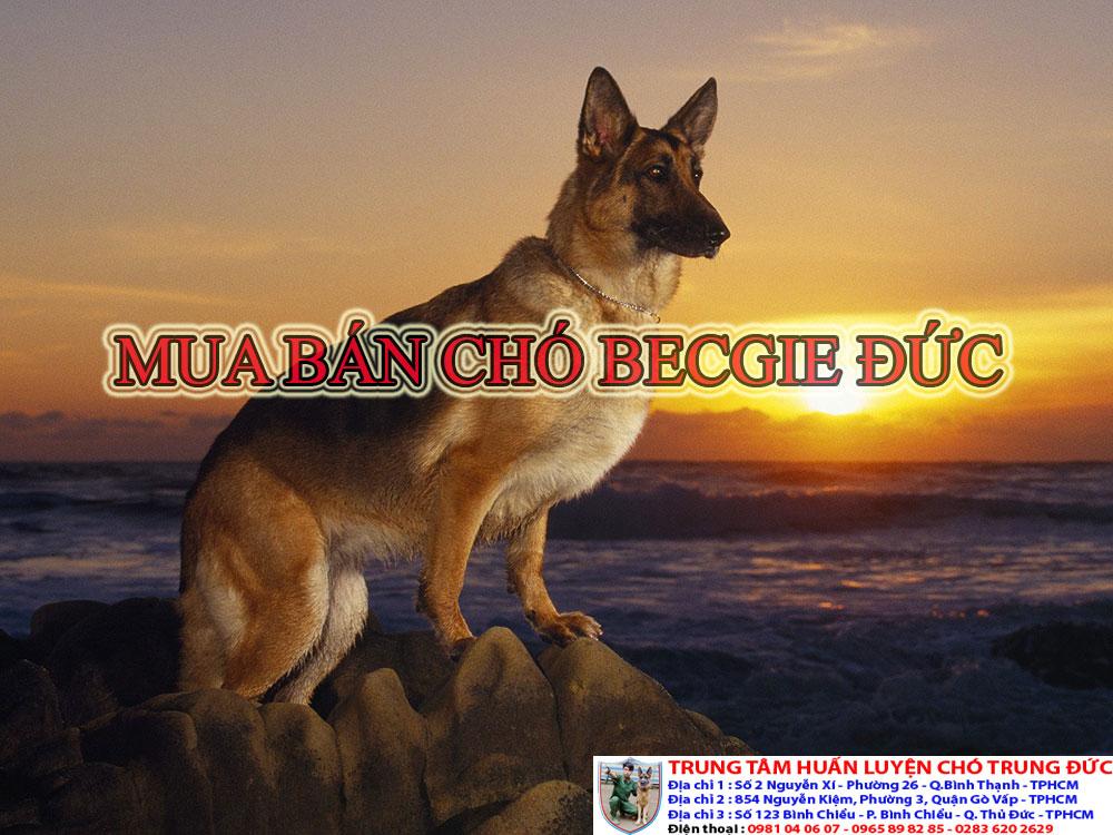 Mua bán chó Becgie Đức,mua ban cho becgie Duc