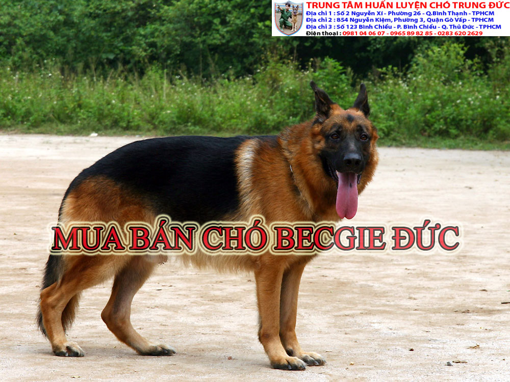 Chó Becgie Đức, cho becgie Duc
