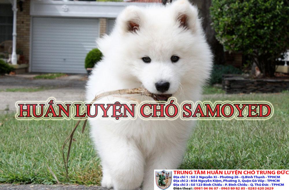 huấn luyện cho Samoyed, huan luyen cho Samoyed