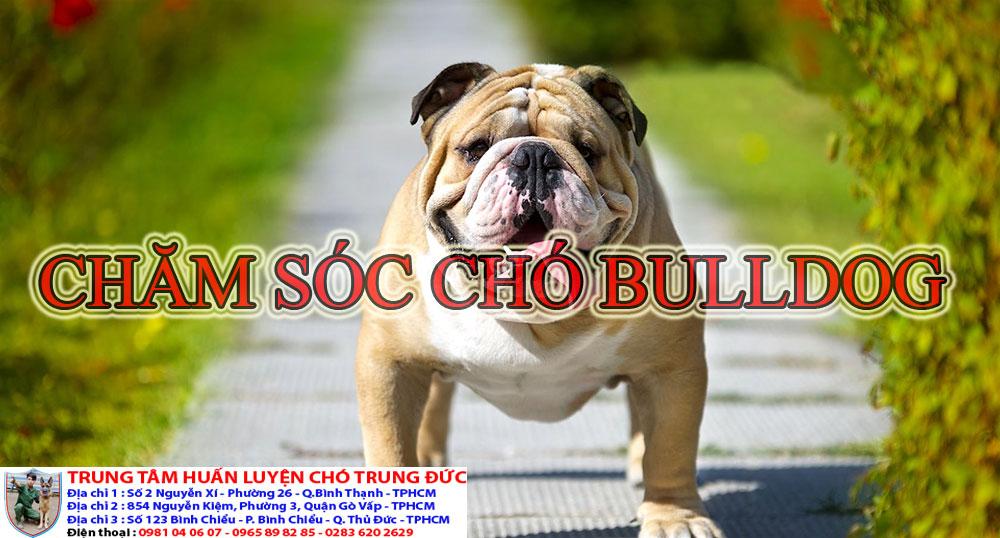 chó Bulldog, cho Bulldog