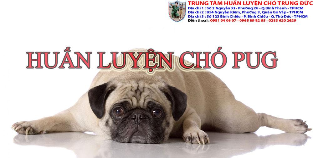 huấn luyện chó Pug, huan luyen cho Pug