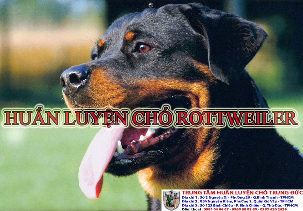 huấn luyện chó Rottweiler, huan luyen cho Rottweiler