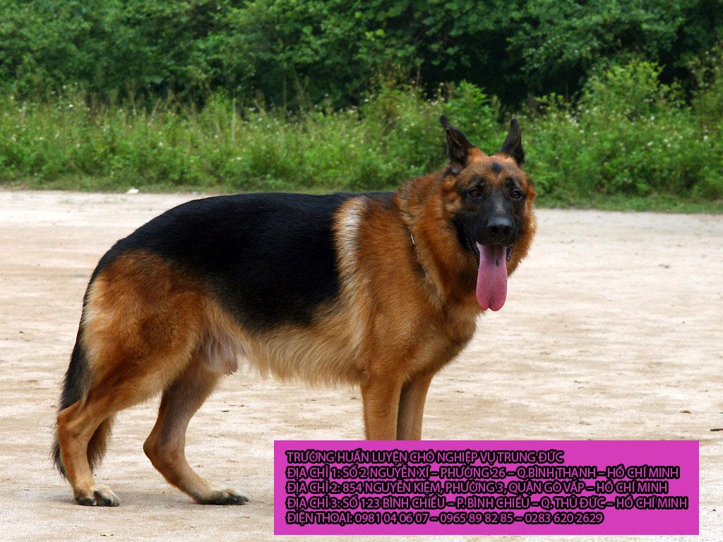 Chó becgie đức lông dài