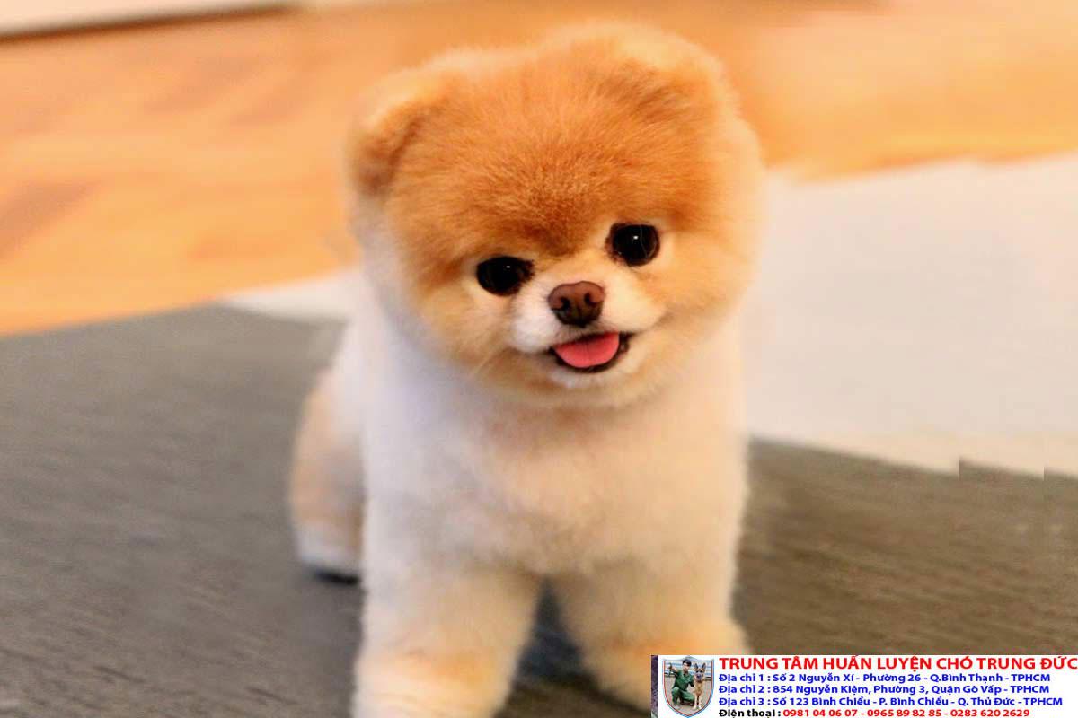Mua Bán Chó Cảnh Đẹp, Giống Chó Nhập Xịn Giá Rẻ Tp Hồ Chí Minh