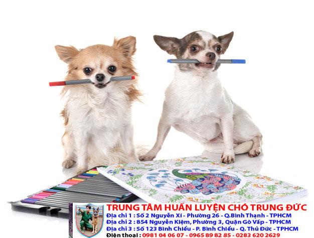 Bảng báo giá huấn luyện Chó Chihuahua