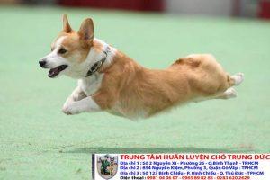 Bảng báo giá huấn luyện Chó Corgi