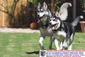Bảng báo giá huấn luyện Chó Husky