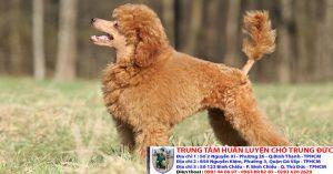 Bảng báo giá huấn luyện Chó Poodle