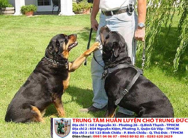 Bảng báo giá huấn luyện Chó Rottweiler