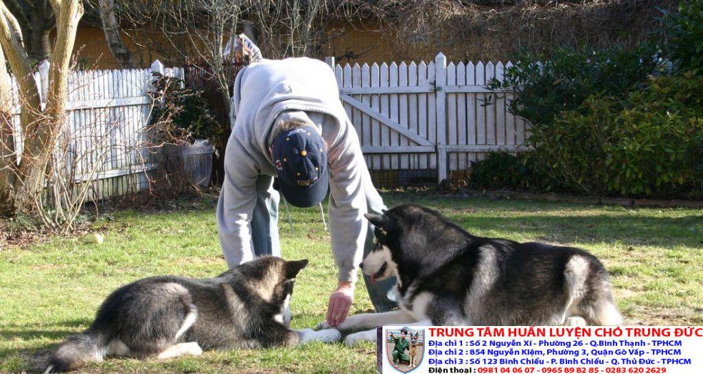 Bảng báo giá huấn luyện Chó Alaska