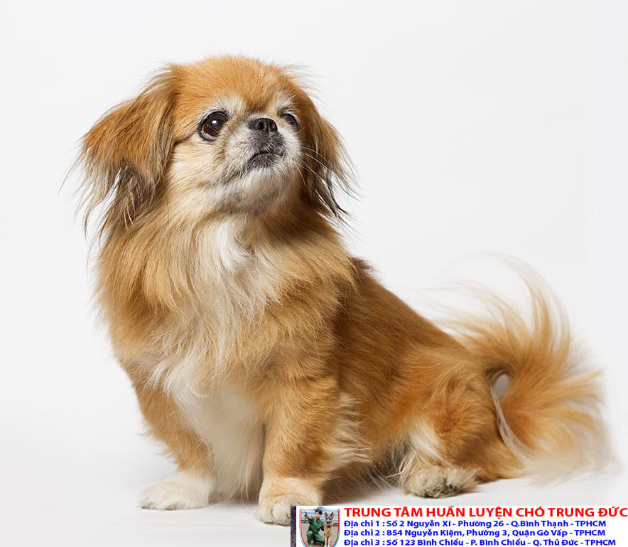 Bán chó cảnh đẹp được huấn luyện với giá rẻ nhất tại Tphcm - 276594