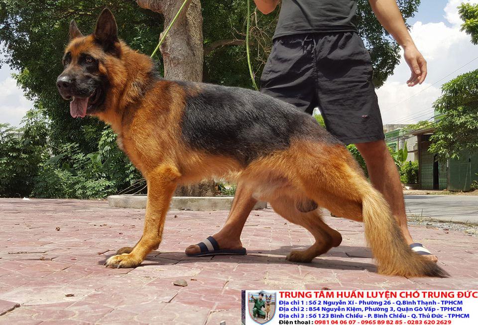 Bán chó cảnh đẹp được huấn luyện với giá rẻ nhất tại Tphcm - 276595