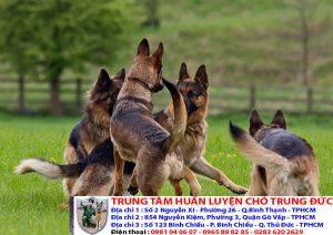 Bảng báo giá huấn luyện Chó Phú Quốc