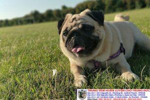 Bảng báo giá huấn luyện Chó Pug