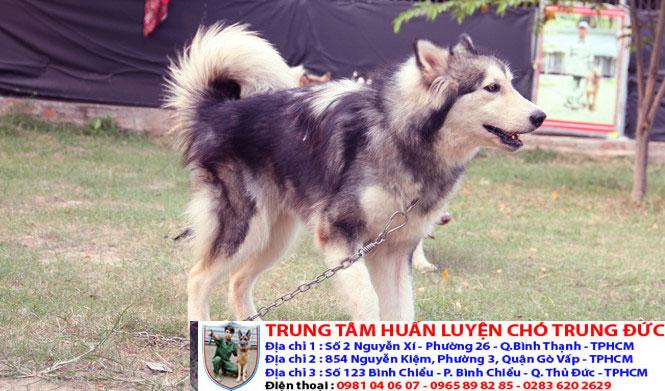 Trại huấn luyện chó husky