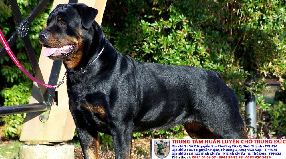 Bán chó cảnh đẹp được huấn luyện với giá rẻ nhất tại Tphcm - 276598