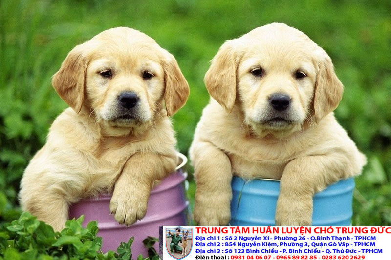 Chi tiết giá bán các loại chó cảnh phổ biến và được yêu thích