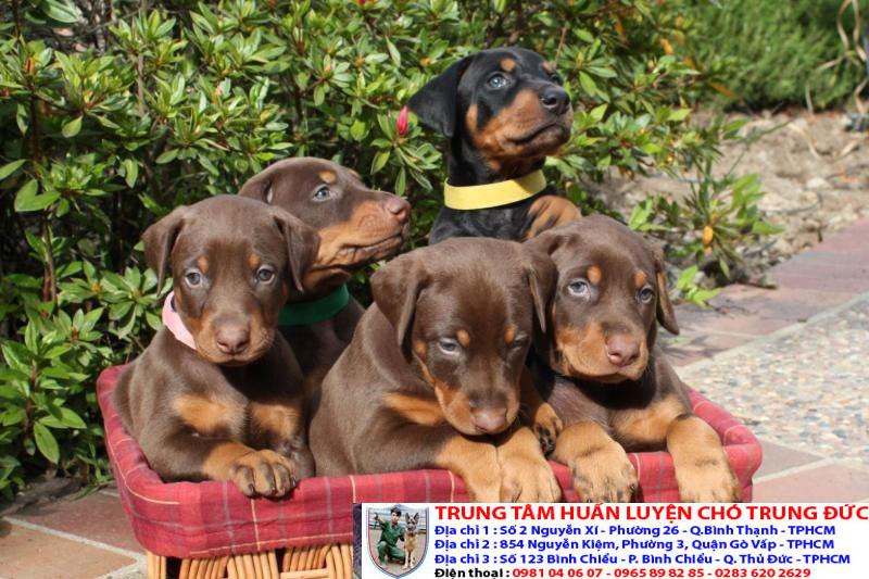 Nhận phân phối giống chó Doberman thuần chủng