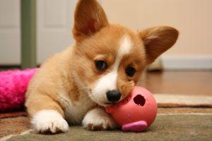 các bài tập huấn luyện chó đơn giản tại nhà