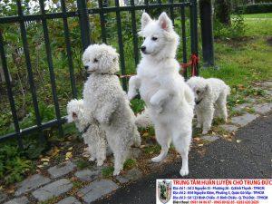 huấn luyện chó đi bằng 2 chân