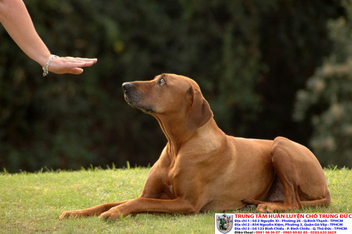 Huấn luyện chó nằm