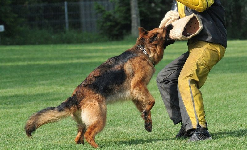 Tổng hợp thông tin, cách chăm sóc và huấn luyện chó Becgie