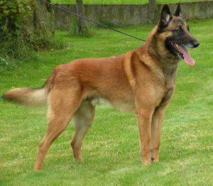 Các giống chó Becgie thuần chủng hiện nay. Chó Becgie Đức, Bỉ, Nga