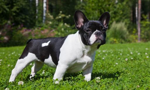 Các giống chó Bull được nuôi nhiều trên thế giới hiện nay