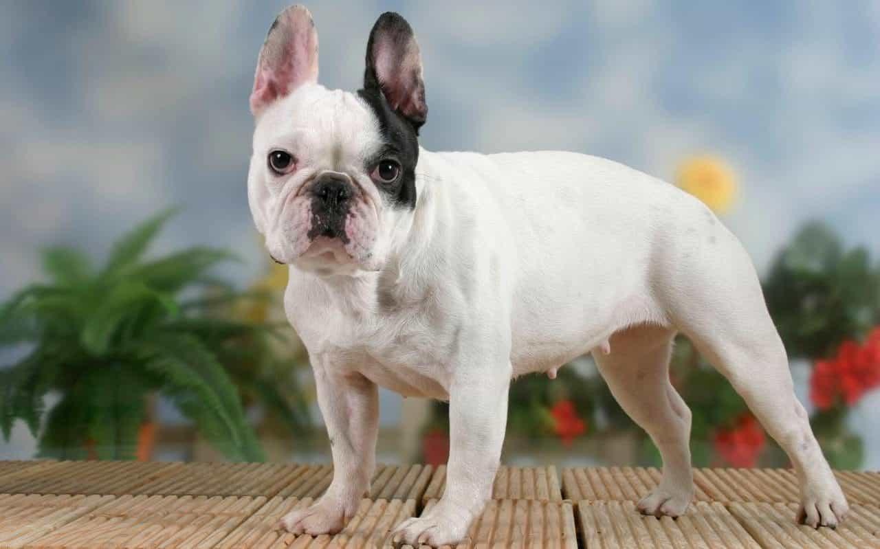 Chó Bull Pháp - Thông tin tổng hợp về chó Bull từ A đến Z