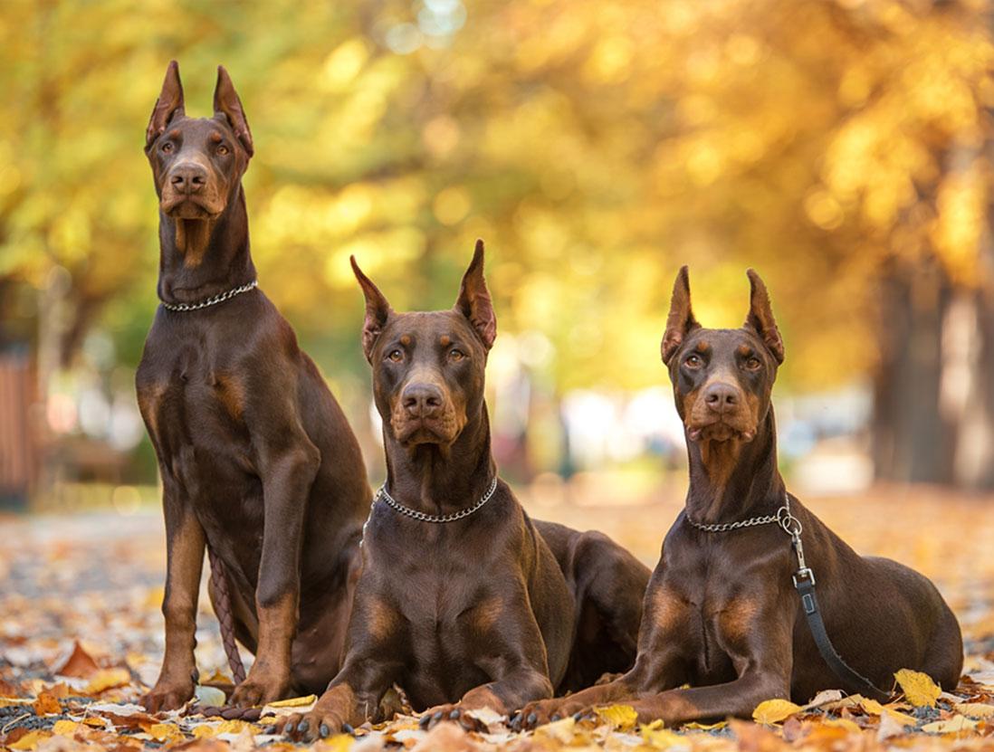 Chó Doberman - Đặc điểm, cách chăm sóc, huấn luyện chó Doberman