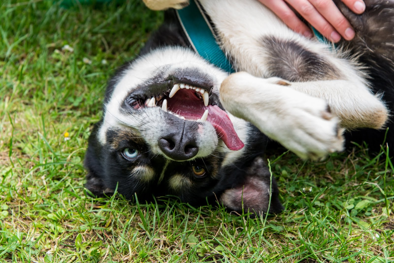 Tổng hợp thông tin về chó Husky từ A đến Z