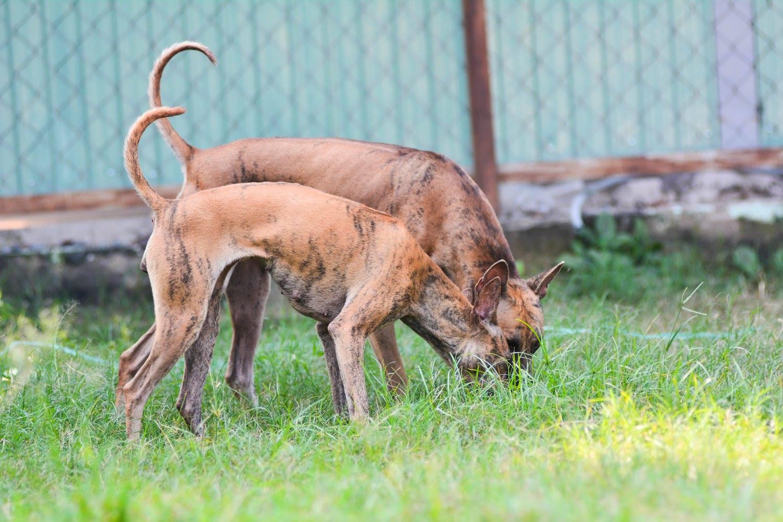 Chó Phú Quốc - Tất tần tật về nguồn gốc, đặc tính và cách chăm sóc