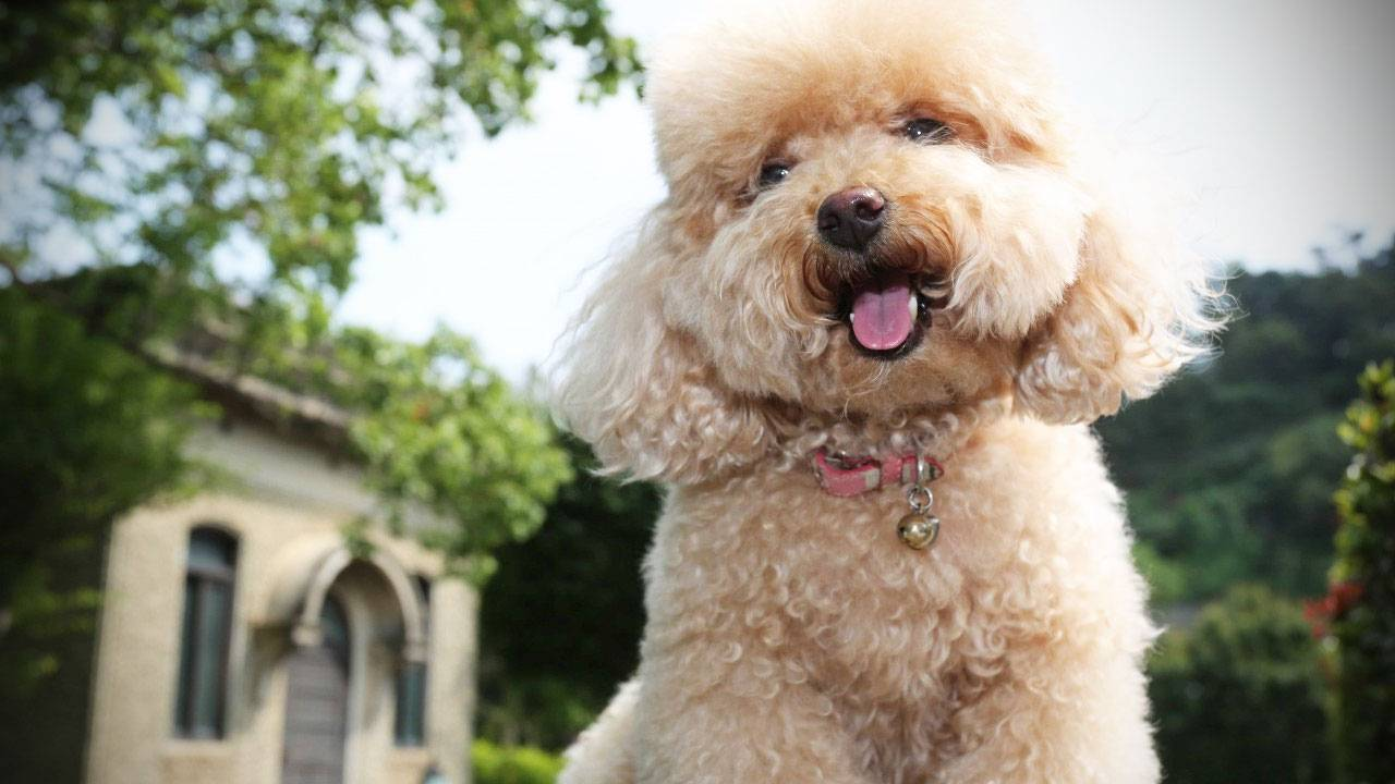 Introducing the Poodle dog breed | Information about Poodle dogs