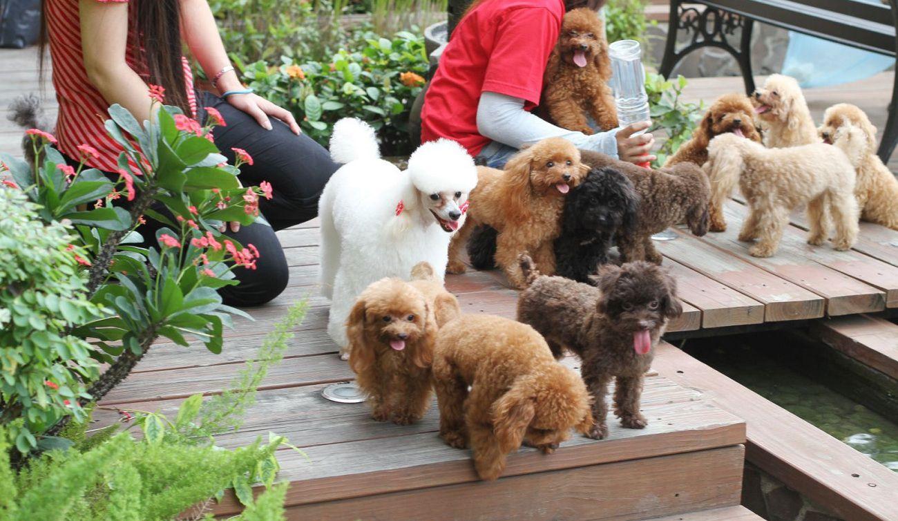 Đôi nét về chó Poodle, cách chăm sóc, nuôi dưỡng và huấn luyện