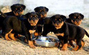 Chó Rottweiler - Đặc điểm, tính cách, cách chăm sóc giống chó Rottweiler
