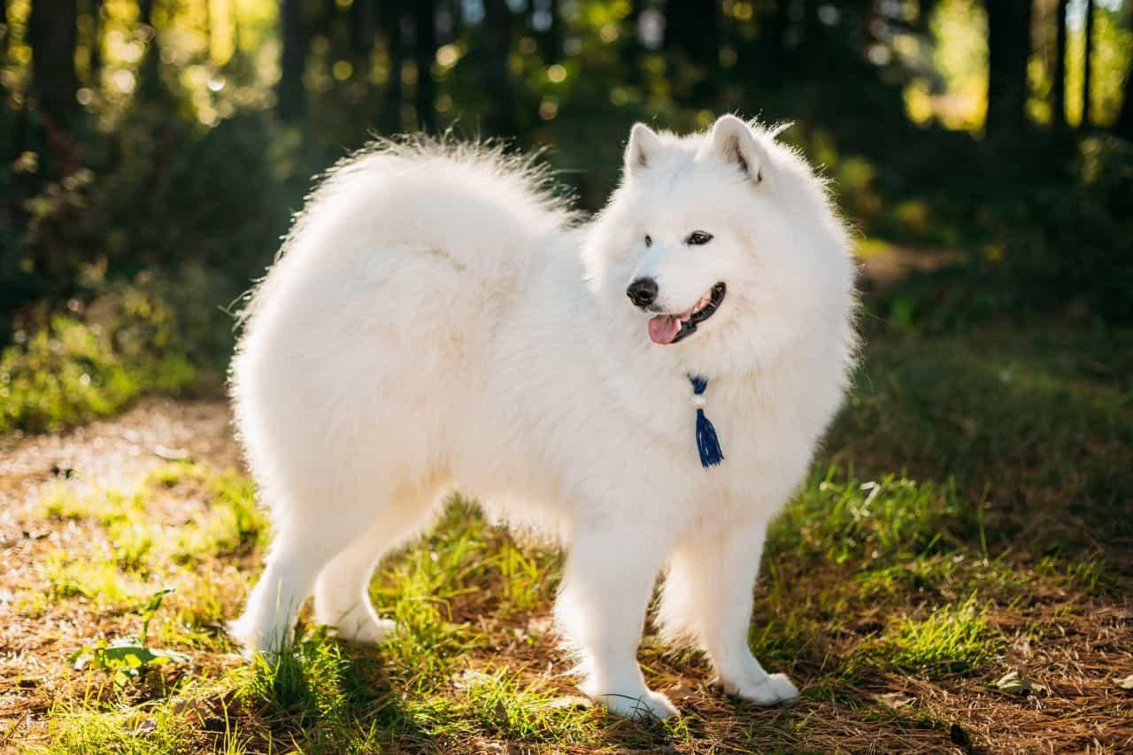 Chó Samoyed - Tổng hợp thông tin về chó Samoyed từ A đến Z
