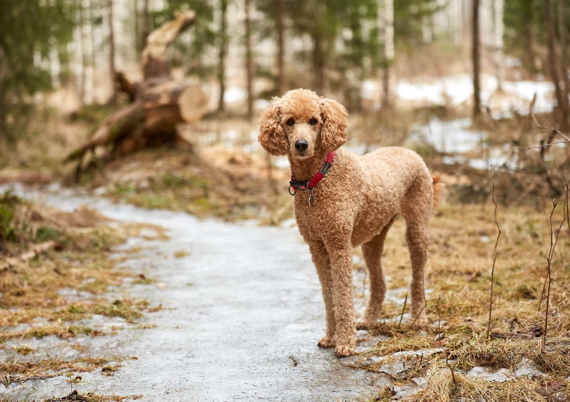 Các giống chó Poodle được yêu thích nhất hiện nay
