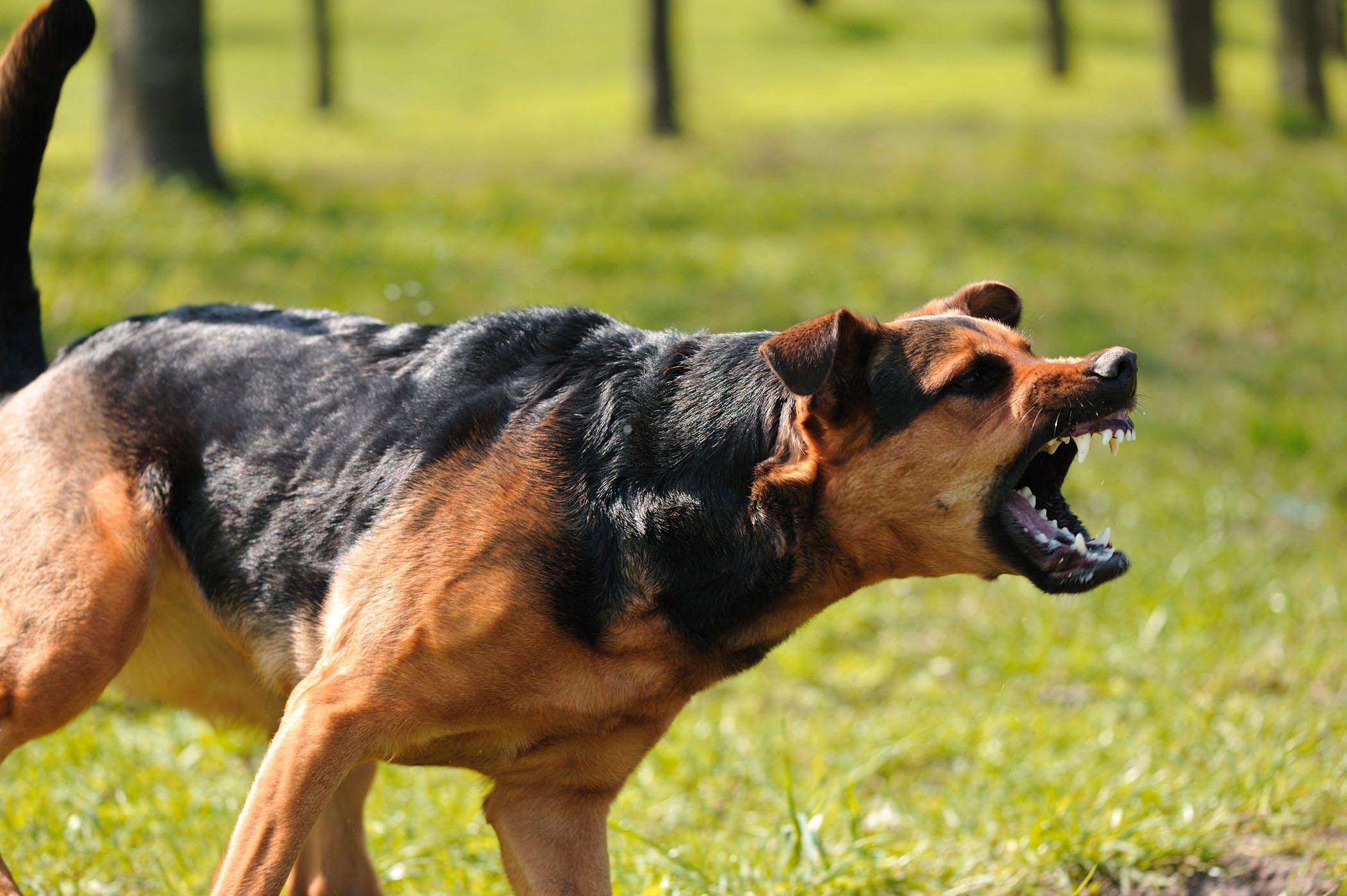 Các bài tập huấn luyện chó nghiệp vụ chuyên nghiệp