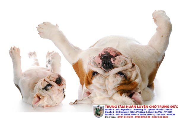 Phương pháp huấn luyện chó giả chết cực đơn giản tại nhà