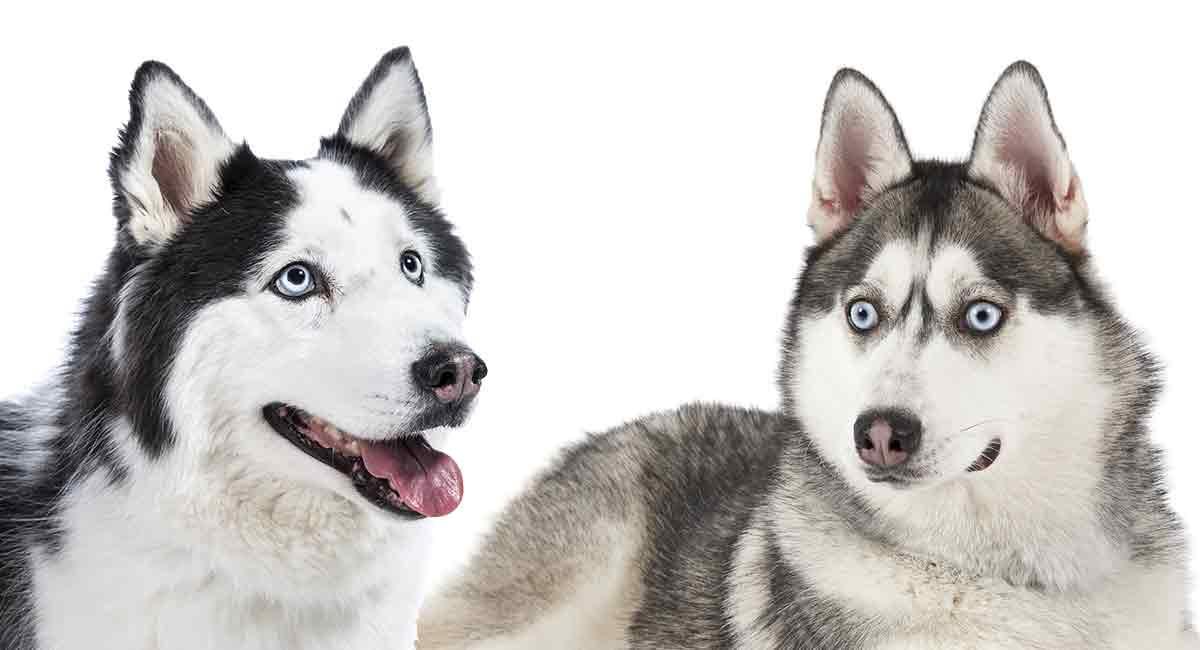 Cách phân biệt giữa chó Husky và chó Alaska đơn giản