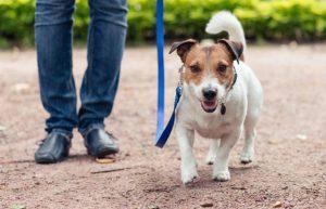 Huấn luyện chó đi bên cạnh chủ một cách ngoan ngoãn khi ra ngoài đường