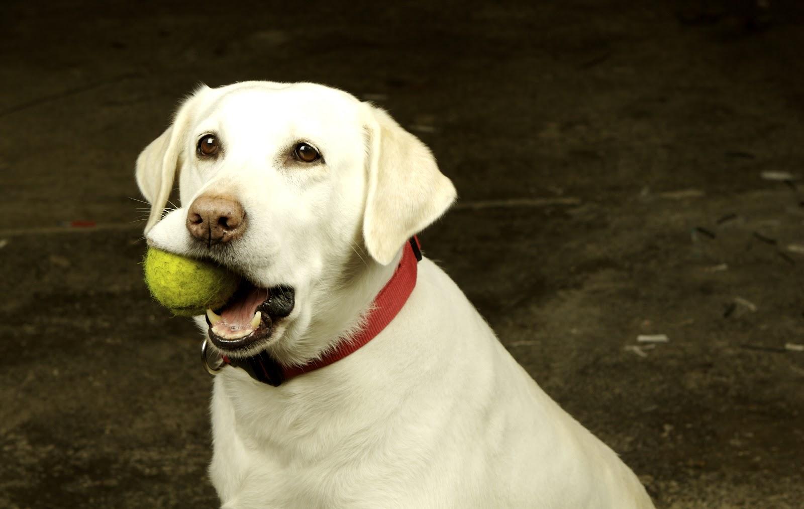 Phương pháp huấn luyện chó nhặt đồ cực kỳ đơn giản, dễ thực hiện