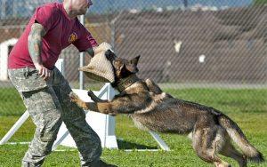 Cách huấn luyện chó tấn công hiệu quả - Nhứng điều cần chú ý