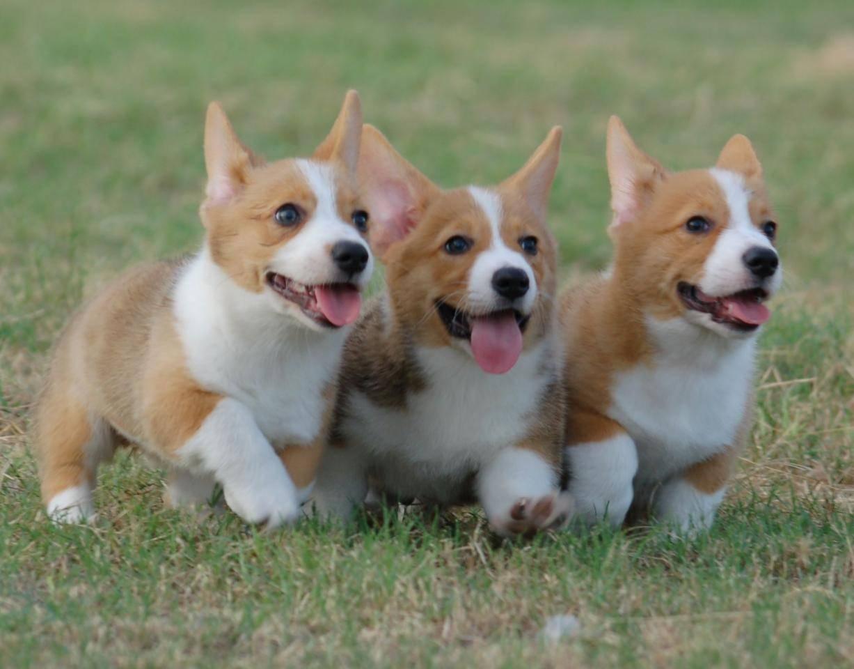Các bệnh chó Corgi hay gặp phải, nguyên nhân và cách phòng tránh
